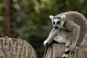 lemure foto