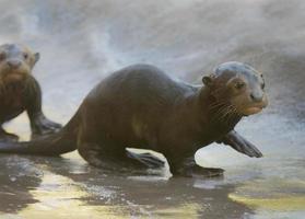 cuccioli di lontra di fiume foto