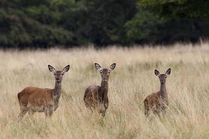rothirsch, cervus elaphus, cervo rosso foto