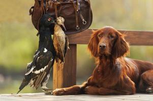 cane da caccia setter irlandese con sacchetto di cartuccia e uccelli trofeo