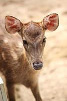 giovane cervo nella fattoria. foto
