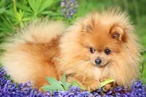 cane pomeranian in fiore estivo
