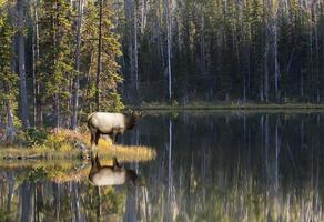 mucca alce