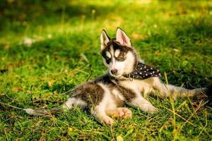 cucciolo di husky sveglio che gioca nel parco foto