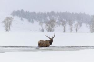 alce invernale foto