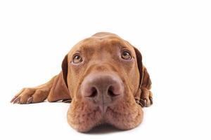 primo piano estremo della testa di cane
