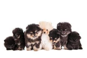 divertente gruppo di cuccioli pomeranian foto