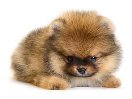 cucciolo di Pomerania