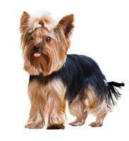 yorkshire terrier divertente foto