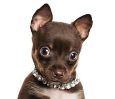 simpatico cagnolino chihuahua foto