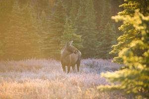 alci al parco nazionale di denali foto