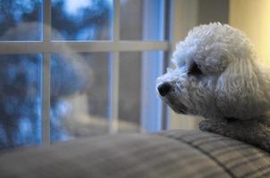 il cane guarda fuori dalla finestra foto