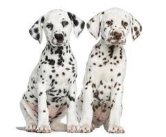 vista frontale di cuccioli dalmata seduti, di fronte