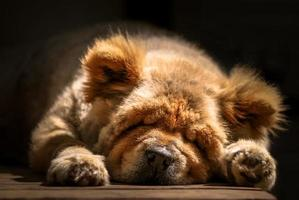 snooze: chow-chow foto