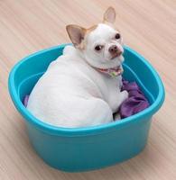 cucciolo di chihuahua dormire nel secchio