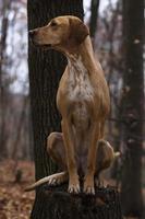 cane puntatore
