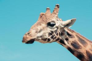 profilo della testa della giraffa foto