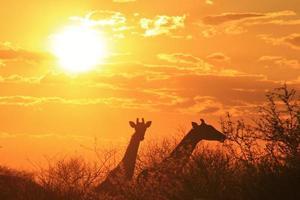 Siluetta di tramonto della giraffa - fondo africano della fauna selvatica foto
