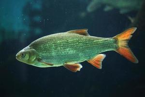 Rudd comune (scardinius eritropthalmus). foto