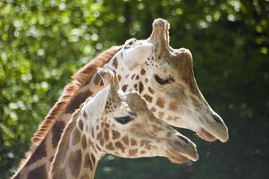 primo piano delle teste di giraf foto