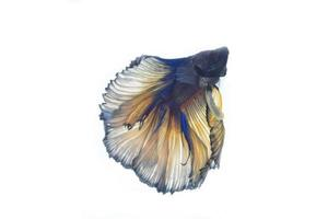 pesce combattente foto