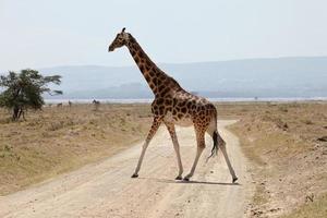 rothschild giraffe, nakuru np, kenya