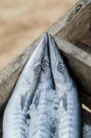 Barracuda foto