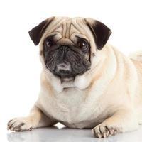 cane pug isolato su uno sfondo bianco