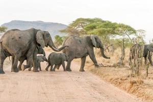 elefante africano nel parco nazionale del serengeti foto
