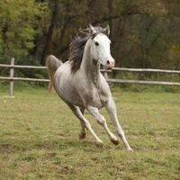 simpatico stallone arabo grigio con criniera volante