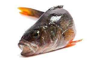 pesce persico isolato su uno sfondo bianco foto