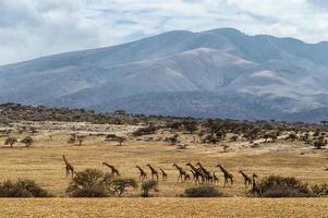branco di giraffe foto