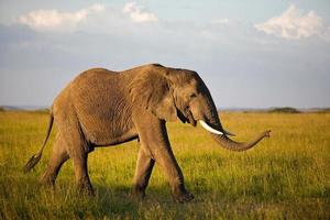 elefante africano nel serengeti