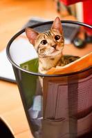 gatto del Bengala che si esercita nel cestino