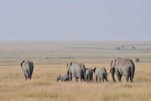 branco di elefanti che si allontana