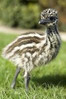pulcino di emu foto