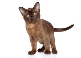 gattino birmano foto