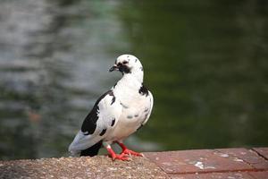 piccione bianco foto
