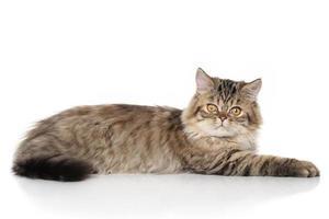 gatto persiano pigro foto