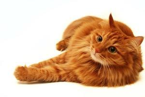 gatto rosso girato su uno sfondo bianco