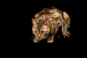 gatto del Bengala che si accovaccia per precipitare.