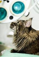 gatto di maine coon foto