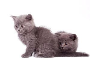 gattini di pelo corto britannico, sfondo bianco foto