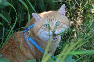 gatto rosso e bianco foto