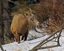 navigazione della pecora del bighorn foto