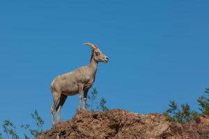 pecore bighorn del deserto foto