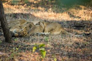 cuccioli di leone asiatici che allattano