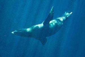 leone marino californiano foto