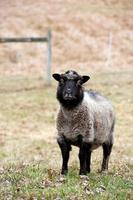 pecore delle Shetland foto