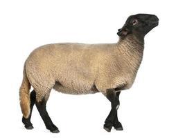 femmina di pecora suffolk, ovis aries, 2 anni, in piedi foto